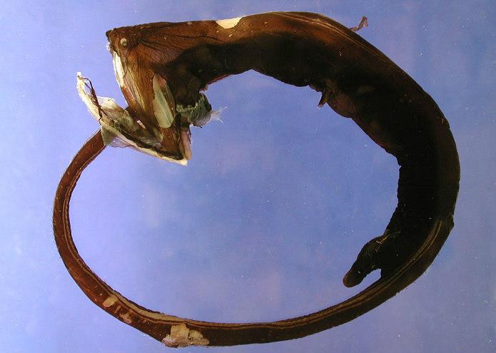 Facts The Gulper Eel Pelican Eel