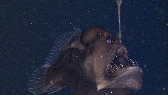 Top 20 humpback anglerfish facts to know what this for Where do angler fish live