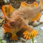 20 Facts About Handfish to Know What This Creature is