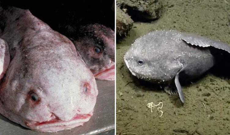 blobfish facts