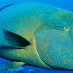 20 Facts about Humphead Wrasse to Know What This Creature Is