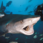 20 Facts about Snaggletooth Shark to know what this Creature is