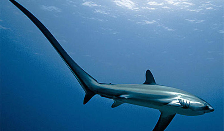 Image result for long tail shark