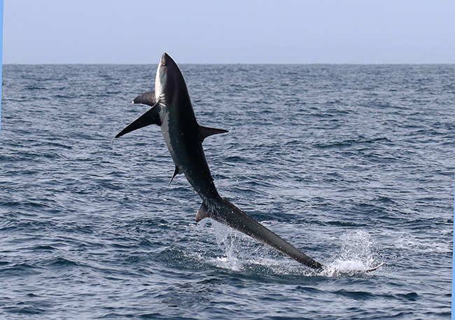 20 Facts about Thresher Shark to know What This Creature is