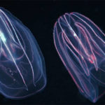 Top 10 Comb Jellyfish Characteristics that have Helped It Survive