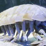 Top 10 Giant Isopod Characteristics that Have Helped It Survive
