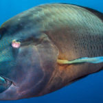 Top 10 Humphead Wrasse Characteristics that Have Helped It Survive
