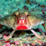 Top 10 Red Lipped Batfish Characteristics That Have Helped It Survive
