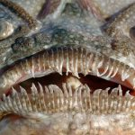20 Stargazer Fish Facts to Know What this Creature is