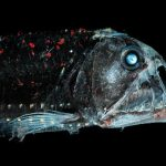 Top 20 Pacific Viperfish Facts to know What this Creature is