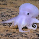 20 Facts about Dumbo Octopus to Know what this Creature is