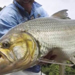20 Facts about Goliath Tigerfish to know What this Creature is