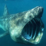 20 Facts about Megamouth Shark to Know What this Creature is