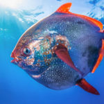 20 Facts about Opah Fish to Know What this Creature is