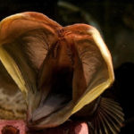 20 Facts about Sarcastic Fringehead to know what this Creature is