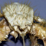 20 Facts about Yeti Crab to Know What This Creature Is