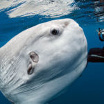 Top 10 Characteristics of Ocean Sunfish that Have Helped It Survive