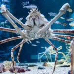 Top 10 Giant Spider Crab Characteristics that Have Helped It Survive