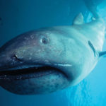 Top 10 Megamouth Shark Characteristics that Have Helped It Survive
