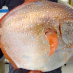 Top 10 Opah Fish Characteristics that have Helped It Survive
