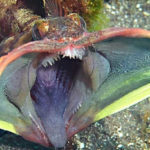 Top 10 Sarcastic Fringehead Characteristics that Have Helped It Survive