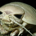 Top 10 Tongue Eating Louse Characteristics that Have Helped It Survive