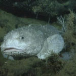 Top 15 Blobfish Characteristics that Have Helped It Survive