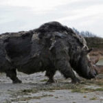 20 Facts about Woolly Rhino to Know What this Creature is