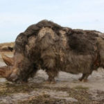 Top 10 Woolly Rhino Characteristics that Have Helped It Survive